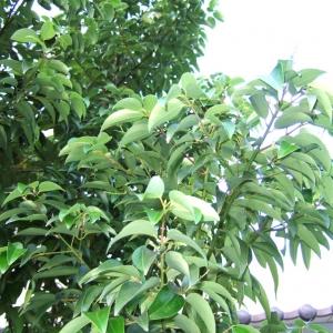 花木百科  假桂皮树  假桂皮树(学名:cinnamomum tonkinense)为樟科樟